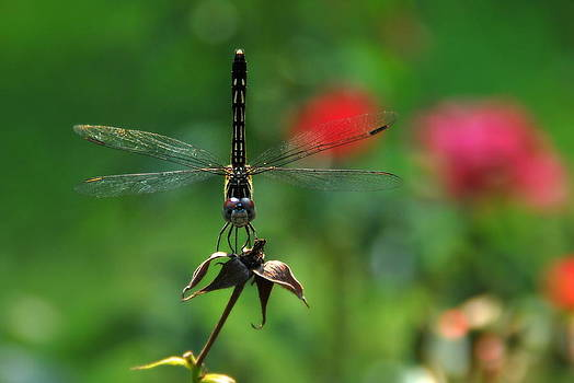 Dragonfly Summer by Floyd Menezes