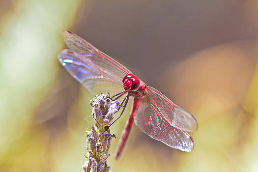 Dragonfly by Tal Richter