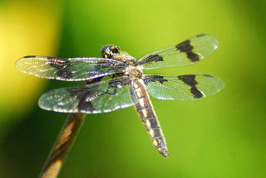 Dragonfly by Wanda Jesfield