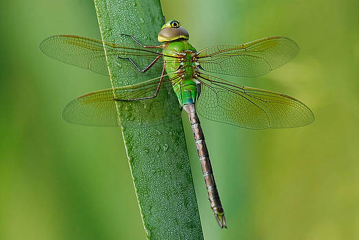 Dragonfly by Zannie B