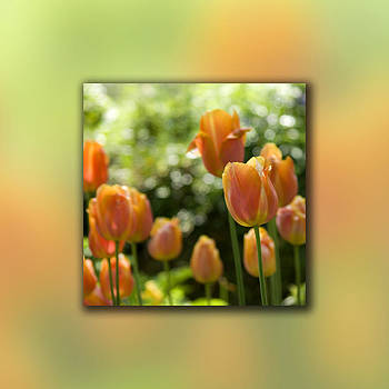 Dreamy Tulip Flowers by Pixie Copley
