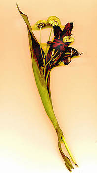 Dried Canna by JDon Cook