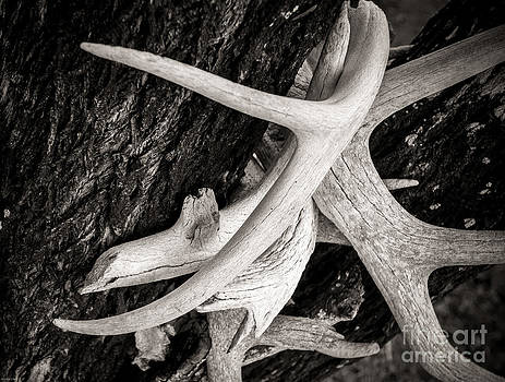 Dried Deer Racks by Sherry Davis