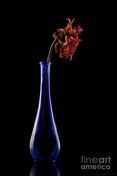 Dried Red Flower in Blue Glass Vase by Warren Sarle