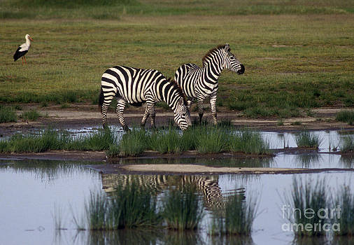 Craig Lovell - Drinking Zebras - Serengeti Plains