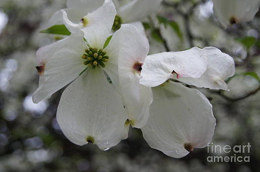 Dripping Dogwood by Diane Stresing