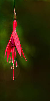 Dripping Fusia by Amber Schenk