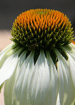 Donna Corless - Droopy Coneflower Daisy with Bug