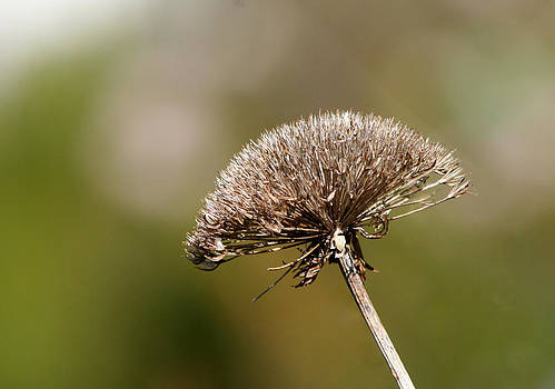 Deborah Hall Barry - Dry Mountain Flower