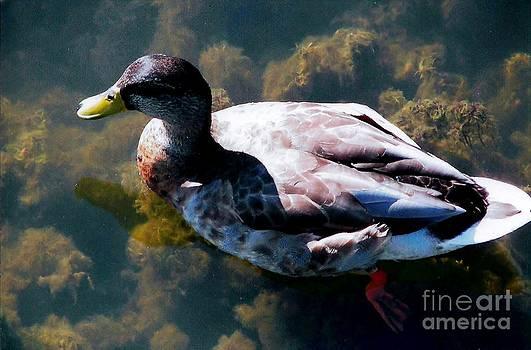Judy Via-Wolff - Duck in Transparent Water