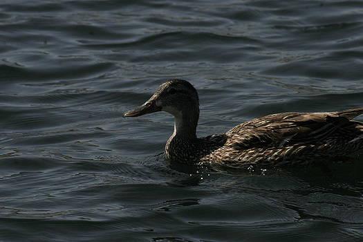 Duck by Mac Booey