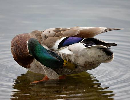Duck Scratching by Ami Tirana