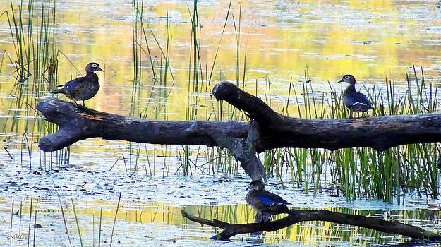 Ducks at Dawn by Sandy Mallet