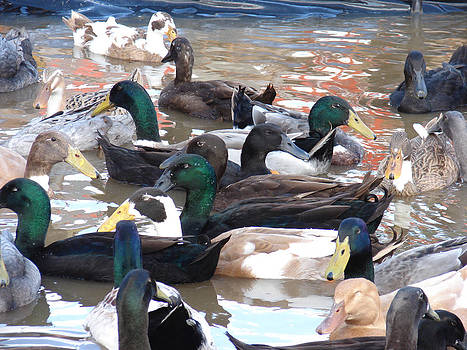 Ducks Galore by Renee Cain-Rojo