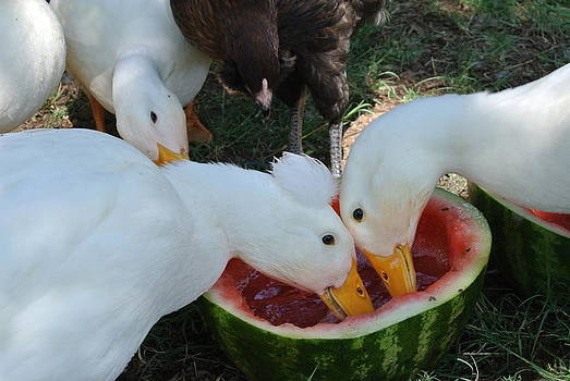 Ducks in watermellon by Beverly Tommasi