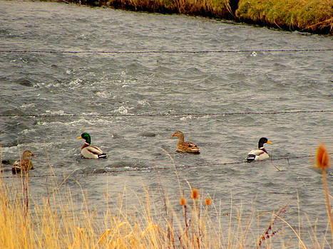 Ducks on Creek by Amy Bradley