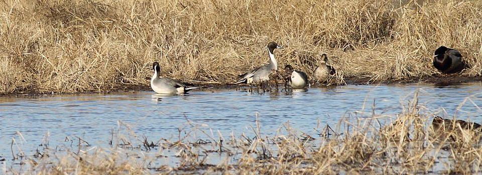 Ducks on the Pond by Glenn Lawrence