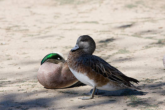 Ducks by Zsuzsanna Szugyi