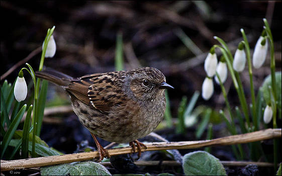 Dunnock by Andy Stuart