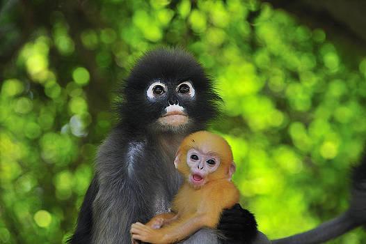 Thomas Marent - Dusky Leaf Monkey And Baby