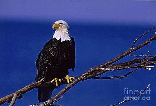 Diane Kurtz - Eagle Blue