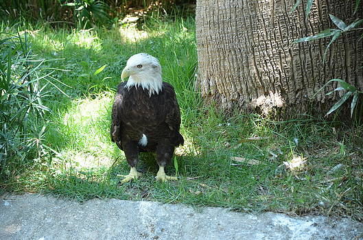 Eagle by Kathy Lewis
