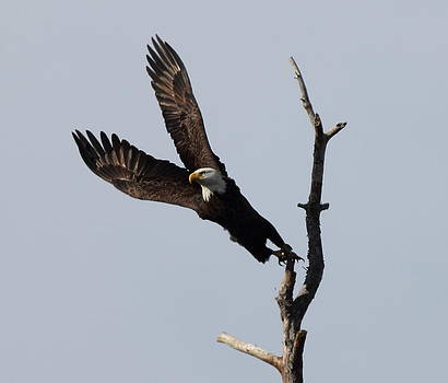 Eagle Stretch by Glenn Lawrence
