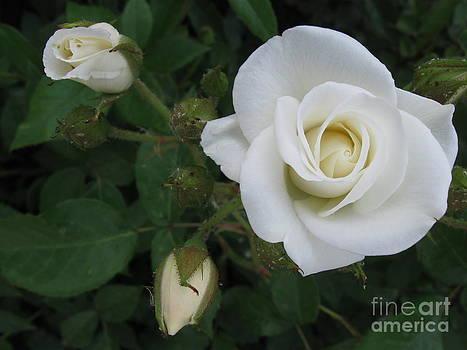 Easter white roses by Alisa Tek