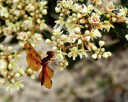 Peg Urban - Eastern Amberwing on Wild Buckwheat