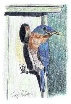 Eastern Bluebird by Tony  Nelson