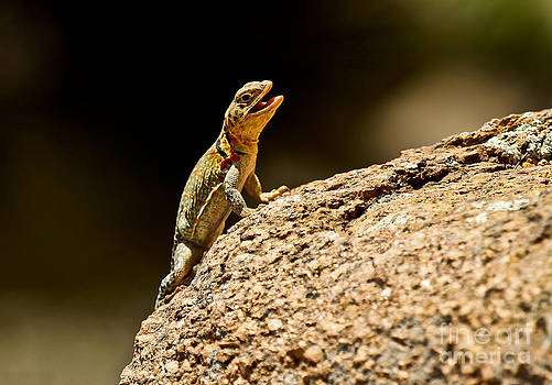 Eastern Collared Lizard in Camo by Royce  Gideon