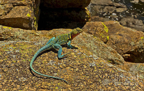 Eastern Collared Lizard in Turquoise  by Royce  Gideon
