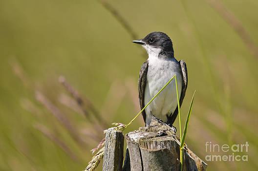 Eastern Kingbird on the watch by Christine Kapler