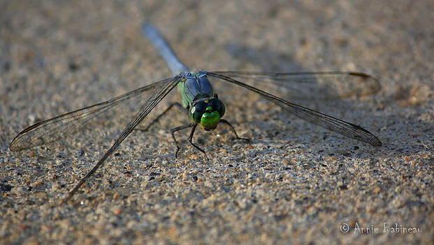 Anne Babineau - eastern pondhawk dragonfly