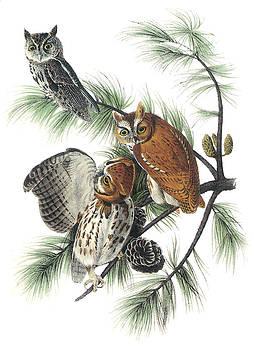 John James Aurnbon - Eastern Screech Owl