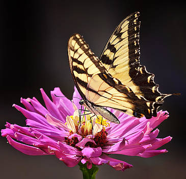 Eastern Swallowtail by Michael Putnam