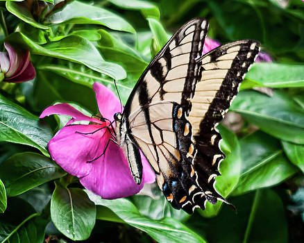 Eastern Swallowtail No. One by Michael Putnam