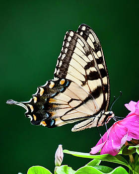 Eastern Swallowtail No. Three by Michael Putnam