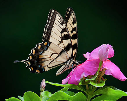 Eastern Swallowtail No. Two by Michael Putnam