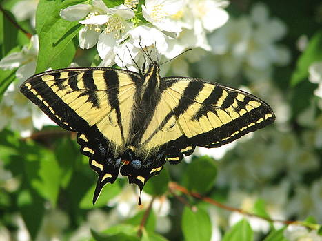 Eastern Tiger Swallowtail Butterfly by Keith Rohmann