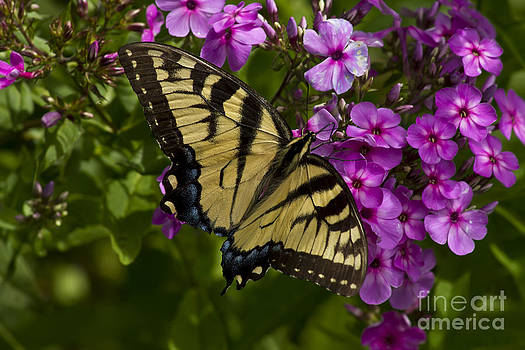 Eastern Tiger Swallowtail butterfly by Robert Wirth