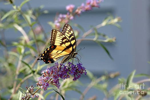 Edward Sobuta - Eastern Tiger Swallowtail