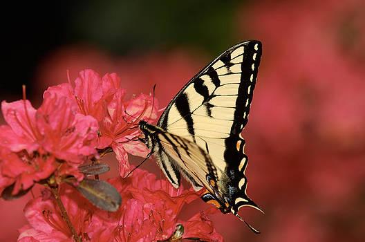 Lara Ellis - Eastern Yellow Tiger Swallowtail And Azaleas