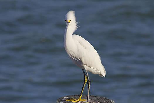 Egret at Johns Pass 2 by Bridget Finn