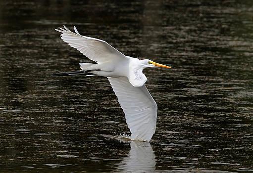 Egret Flight by Phil Lanoue