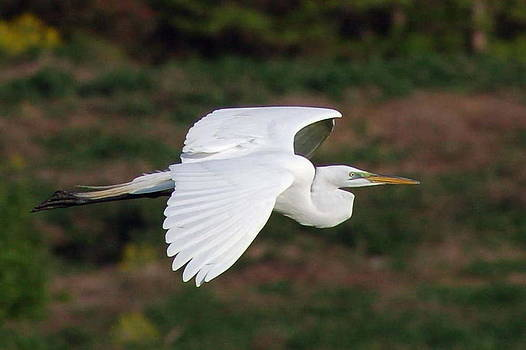 Egret In Flight by Dick Todd