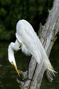 Egret Looking for Dinner by Sandra Anderson