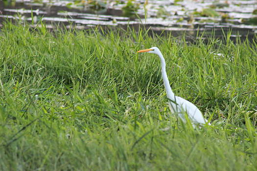 Egret Waling Tall by Mike Wilber