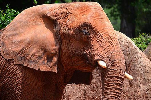 Ronald T Williams - Elegant Elephant