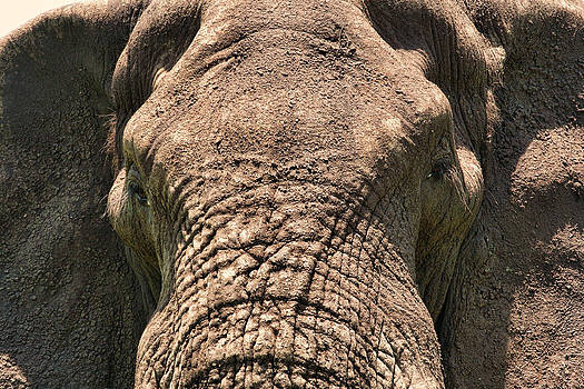 Elephant close-up by Andrei Fried